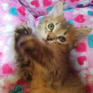 可愛い子猫を大事に飼っていただける方募集