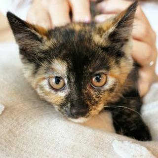 さび子猫♀2ヶ月里親様募集