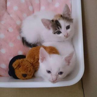 三毛猫♀生後1ヶ月です。 - 里親募集