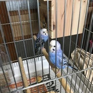 セキセイインコ2羽 多分オスとメス