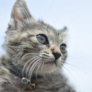 キジトラ(ムギワラ)子猫 生後1ヶ月ちょい? ほぼメス