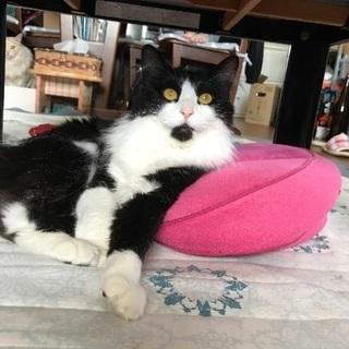 長毛白黒ハチワレ猫を探しています。