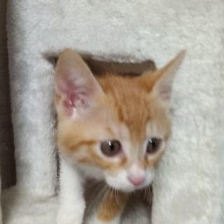 (TR予定)4月24日生まれ 好奇心旺盛な茶トラオス子猫