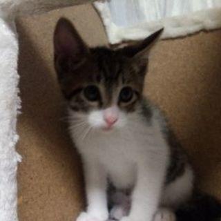 (TR中)4月24日生まれ やんちゃなキジトラオス子猫