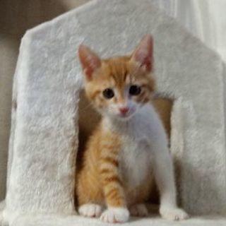(TR中)4月24日生まれ 珍しい茶トラのメス子猫
