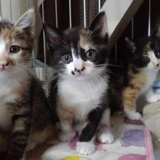 可愛い仔猫の里親さん募集中。
