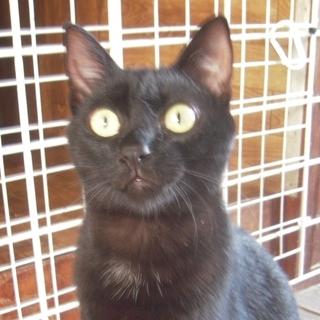里親さま決定♪ 実物はもっと美しい黒猫★トーフちゃん 10ヶ月前後