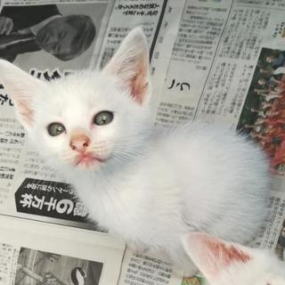 里親募集 白猫 オス