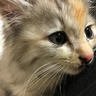 子猫メス美猫甘えんぼう
