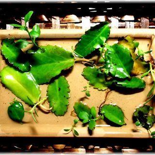 【セール:数量はお好きなだけどうぞ】『マザーリーフ』幸せの葉っぱ単品