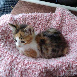 2ヶ月の仔猫です😃 - 水戸市