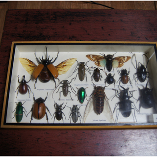 昆虫標本 ガラス面に曇りあり 昆虫状態は良好 詳細不明 36cm...