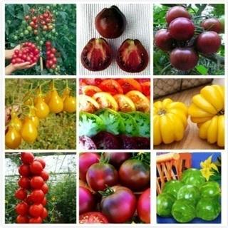 外国産 輸入 mix トマトの種から育てた 大苗