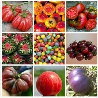 外国産 輸入 mix トマトの種から育てた 中苗+小苗セット