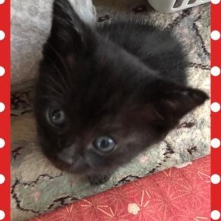 福を届ける黒猫ちゃん1か月