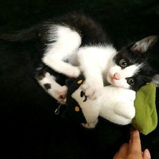 生後2ヶ月(推定) ハチワレ赤ちゃん子猫