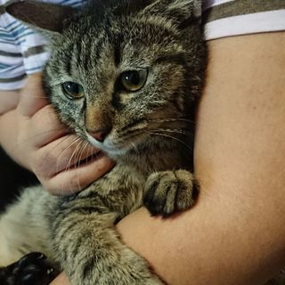 生後8ヶ月 メス猫 ボブテイル