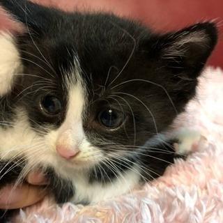 子猫1ヶ月半体重300-400gの里親さん募集