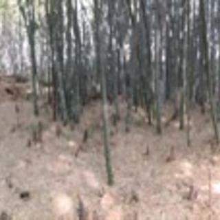 竹 七夕 、そうめん、地鎮祭、太い竹から細い竹