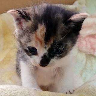 子猫の里親募集 (仮名:ミミィ) - 猫