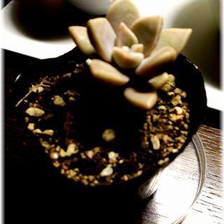 【強健で栽培失敗の少ない多肉植物】『朧月』2号ポット入り苗 ᕦ(...