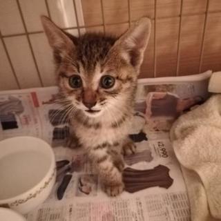 キジトラ子猫(生後1ヶ月半くらい)の里親さんを募集です。