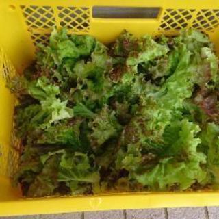 【引き取り限定】朝どり野菜①(サニーレタス)4名様限定