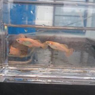 秋桜ラメ 卵 15個+α