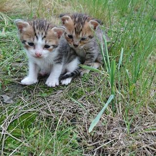 1ヶ月の子猫♡兄弟でもらって頂ける方