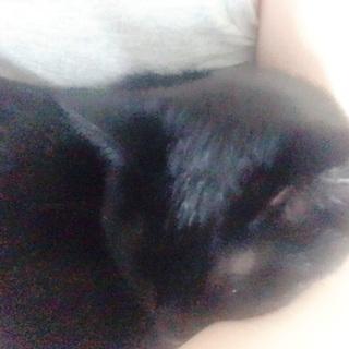 可愛い黒猫の里親募集!急ぎ!