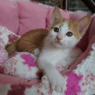 生後2ヵ月 人懐こくて穏やかな男の子  兄弟猫と一緒に良いご縁が...