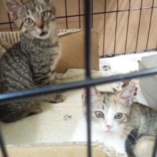 可愛い盛り三毛子猫+キジトラ兄妹 1kg。