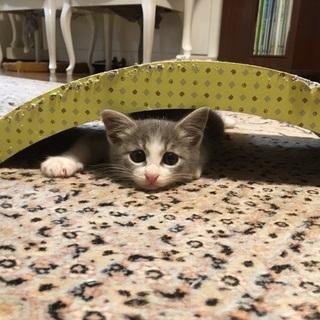 (トライアル決定!!!)毛長め(?)、垂れ目のツンデレ女の子(3ヶ月位) - 猫