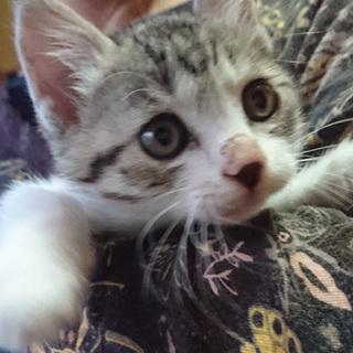 捨て猫☆かわいいサバ三毛♀2ヶ月