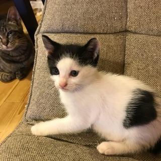 白黒二色姉妹猫里親募集。生後2カ月めっちゃ可愛いです。