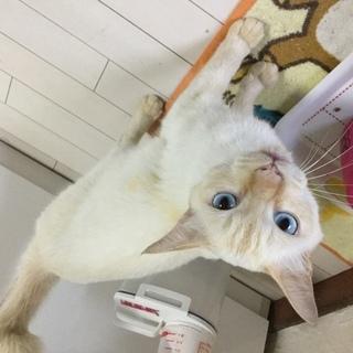 青い目の白猫、、ヤンチャ君