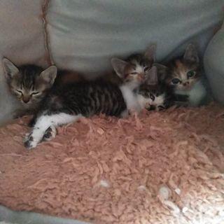 三毛2匹、キジトラ1匹、生後1ヶ月〜1ヶ月半です。