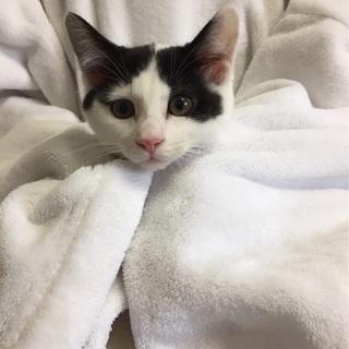 猫初心者でも飼いやすい 3か月キジ白♂風太くん