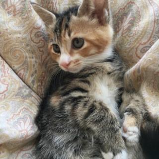 キジっぽい三毛猫 2か月半♀ミキちゃん