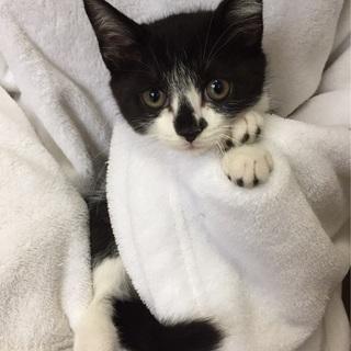 強運の生き残り 白黒猫3カ月♀スージーちゃん