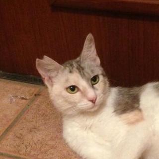 とても美人な三毛猫