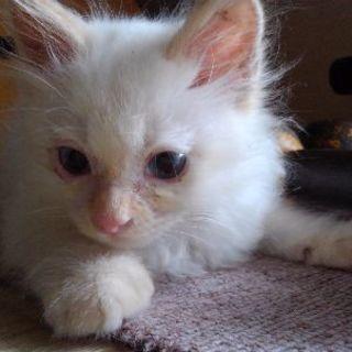 ★生後2ヶ月程。薄茶混じりのもふもふ白猫です。