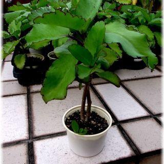 【多肉植物】50円多肉植物カランコエ属『マザーリーフ』(中型)の画像