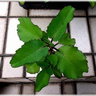 【多肉植物】50円多肉植物カランコエ属『マザーリーフ』(中型) - 神戸市