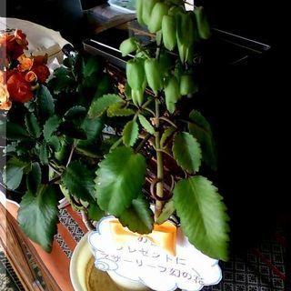 【多肉植物】50円多肉植物カランコエ属『マザーリーフ』(中型) - その他