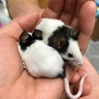 パンダマウス 6/24生まれました!