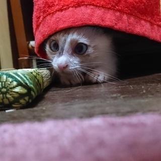 子猫 シャム系MIX 生後2ヶ月 - 猫