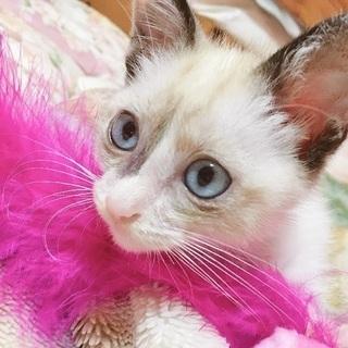 子猫 シャム系MIX 生後2ヶ月の画像