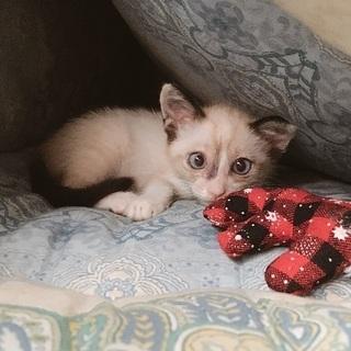 子猫 シャム系MIX 生後2ヶ月 − 沖縄県
