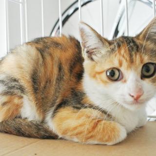 4月生まれの三毛猫の女の子/メス 美しい毛色とお顔の三毛ちゃん